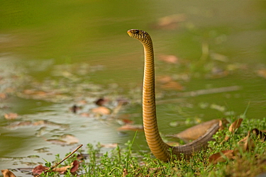 Oriental rat snake (Ptyas mucosa), ready to strike, Sri Lanka.