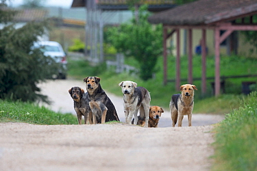 Street dogs (Canis familiaris) pack, Romania. May 2018.
