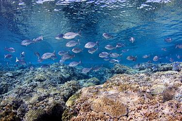 Beaked drummer fish (Kyphosus pacificus) North Minerva Reef / Teleki Tokelau a disputed territory in the South Pacific between Tonga and Fiji.