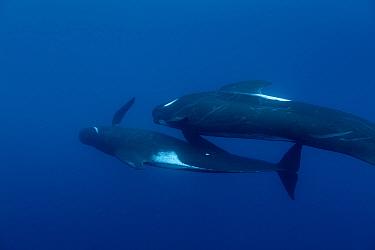 Long-finned pilot whales (Globicephala melas) offshore, Northern New Zealand.