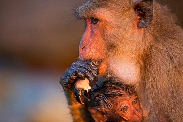 Long-tailed macaque (Macaca fascicularis) female eating crab claw, with baby with wet fur. The infant's fur is wet as it was carried on underside of mother whilst she was foraging on the shore. Koram...
