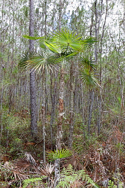 Highland silver palm (Coccothrinax scoparia) growing within pine forest, Hispaniola.