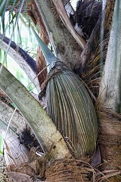 Carossier oil palm (Attalea crassispatha). Sheathing bract enclosing flower cluster. Les Cayes, Haiti. Hispaniola.