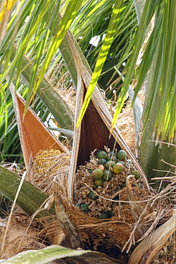 Carossier oil palm (Attalea crassispatha). Sheathing bract enclosing flower cluster. Les Cayes, Haiti, Hispaniola.