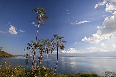 Palm trees (Coccothrinax jimenezii) on coast, Hispaniola.