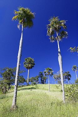 Guano palm (Coccothrinax fragrans) trees, Hispaniola.