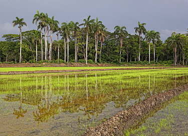 Royal palm (Roystonea borinquena) trees and tropical forest edge, Hispaniola.