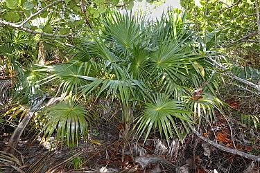 Thatch palm (Leucothrinax morrisii), Hispaniola.