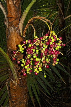 Lesser Antilles silver thatch palm (Coccothrinax barbadensis) fruits, Hispaniola.