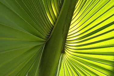 Puerto Rico palmetto (Sabal causarium) leaf. Hispaniola.