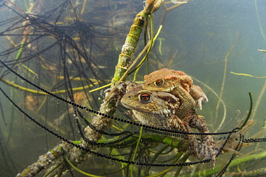 Underwater view of Common toad (Bufo bufo) pair mating and egg laying at the bottom of a lake. Ain, Alps, France, April.