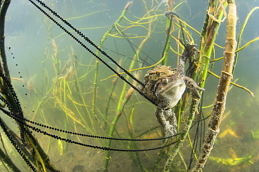 Underwater view of Common toad (Bufo bufo) pair mating and egg laying at the bottom of lake, Ain, Alps, France, April.