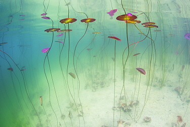 Underwater view of Waterlilies (Nymphaea alba) in a lake. Alps, Ain, France, June.