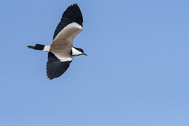 Spur-winged lapwing (Vanellus spinosus) in flight, Gambia.
