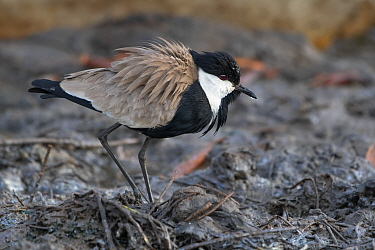 Spur-winged lapwing (Vanellus spinosus), Gambia.