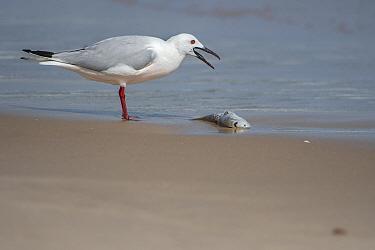 Slender-billed gull (Chroicocephalus genei) standing at water's edge with fish, Gambia.