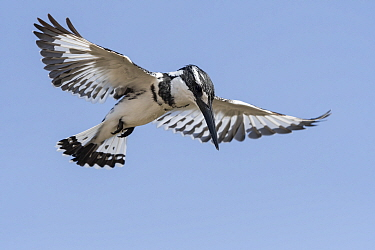 Pied kingfisher (Ceryle rudis) hovering, Gambia.
