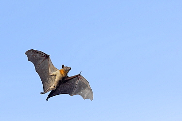 Straw-coloured fruit bat (Eidolon helvum), male flying, Lamin, Gambia.