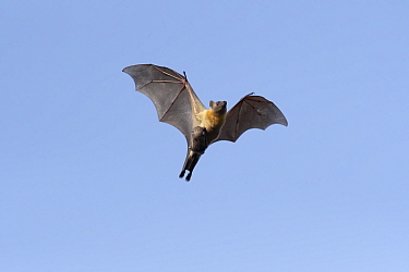 Straw-coloured fruit bat (Eidolon helvum), female flying carrying pup on front. Lamin, Gambia.