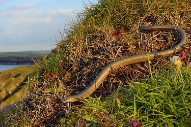 Slow worm (Anguis fragilis) on coastal clifftop grassland. Cornwall, England, UK. May.