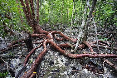 Gumbo Limbo tree (Bursera simaruba) growing on karst substrate, Cienaga de Zapata, UNESCO Biospehere Reserve, Cuba.