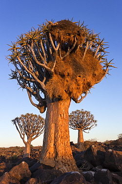 Sociable weaver (Philetairus socius) nest in quiver tree (Aloidendron dichotomum) Quiver tree forest, Keetmanshoop, Namibia.