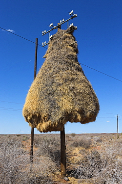 Sociable weaver (Philetairus socius) nest on telegraph pole, Northern Cape, South Africa.