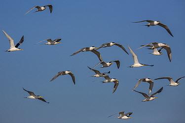 Swift terns (Thalasseus bergii) Luderitz, Namibia.