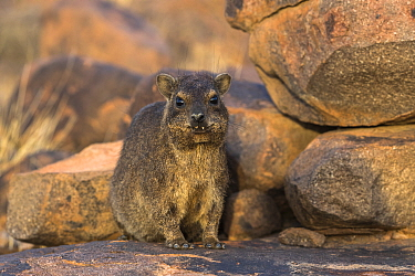 Rock hyrax (Procavia capensis) Quiver Tree Forest, Keetmanshoop, Namibia.