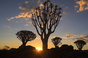 Quiver trees (Aloidendron dichotomum) silhouetted at sunset, Quiver Tree Forest, Keetmanshoop, Namibia.