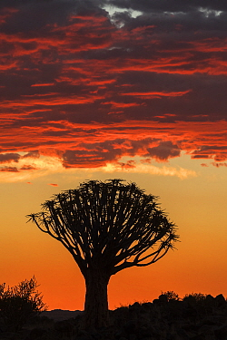 Quiver tree silhouetted at sunset (Aloidendron dichotomum) Quiver Tree Forest, Keetmanshoop, Namibia.