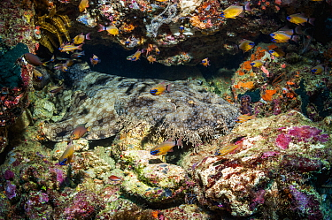Wobbegong (Orectolobus maculatus) at rest on coral reef. Triton Bay, West Papua, Indonesia.