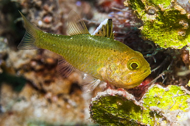 Flagfin cardinalfish (Apogon hoeveni) Puerto Galera, Philippines.