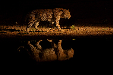 Leopard (Panthera pardus) walking beside waterhole, reflected in the water at dusk. Londolozi Private Game Reserve, Sabi Sands Game Reserve, South Africa.