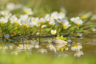 Common water frog (Rana esculenta) calling in water, France. April.