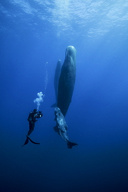 Sperm whale (Physeter macrocephalus) with calf, watched by scuba diver, Indian Ocean.