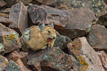 Pika (Ochotona princeps) yawning.Bridger National Forest, Wyoming Mountain Range, Wyoming, USA, June.