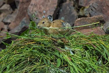 Pika (Ochotona princeps)on hay pile, in Bridger National Forest, Wyoming Mountain Range, Wyoming, USA, June.
