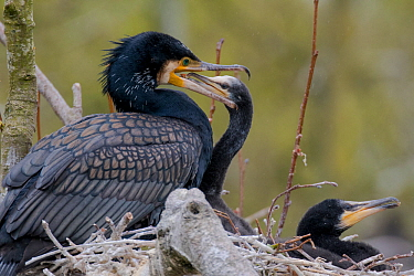 Great cormorant (Phalacrocorax carbo) on nest with chicks. Netherlands. May.