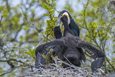 Great cormorant (Phalacrocorax carbo) regurgitating fish for chick. Netherlands. May.