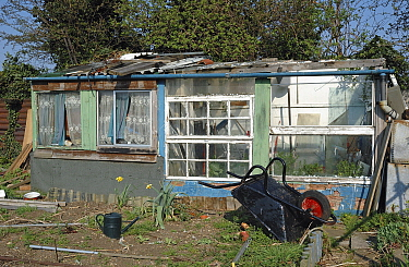 Allotment shed made from recycled materials, with a Forsythia shrub to the left, Manor Garden Allotments, Lea Valley, London Borough of Hackney, UK. These allotments were destroyed to make way for the...