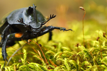 Rhinoceros beetle, (Oryctes sp) on a moss covered tree trunk , Tangjiahe National Nature Reserve, Sichuan Province, China