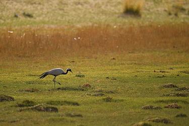 Demoiselle crane (Grus virgo) walking on grass, Inner Mongolia, China