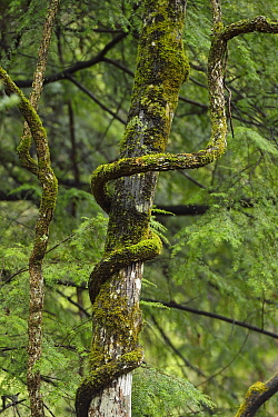 Lianas sp. growing around a tree , Tangjiahe National Nature Reserve,Qingchuan County, Sichuan province, China