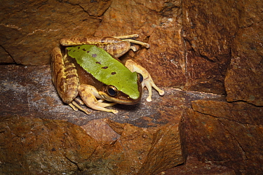 Green cascade frog (Odorrana chloronota) Brown tree frog (Polypedates megacephalus) Lantau Island, Hong Kong, China