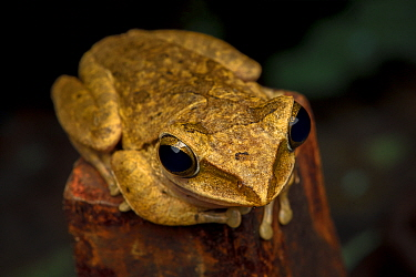 Brown tree frog (Polypedates megacephalus) Lantau Island, Hong Kong, China