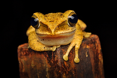 Brown tree frog (Polypedates megacephalus) Lantau Island, Hong Kong, China