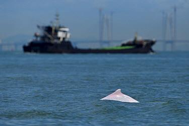 Indo-Pacific humpback dolphin (Sousa chinensis) with ship in the background, Tai O, Lantau Island, Hong Kong, China.