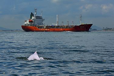 Indo-Pacific humpback dolphin, (Sousa chinensis) surfacing, with industrial ship in the background, Tai O, Lantau Island, Hong Kong, China