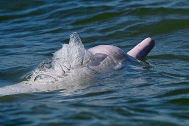 Indo-Pacific humpback dolphin ( Sousa chinensis) Tai O, Lantau Island, Hong Kong, China.